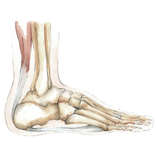 ankle foot injuries conditions orthopaedics sa